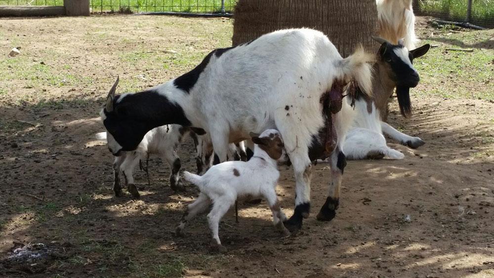 Animali della fattoria vitis aurunca for Planimetrie rustiche della fattoria